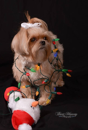 Lexi puppy dog with studio photos for Christmas
